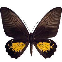 Ptitsekrylka golden